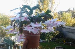 Cactus de Noel ou Schlumbergera.