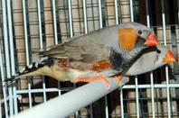 2eme couple : Mâle gris blackface + femelle grise pastel ( 1ere portée )