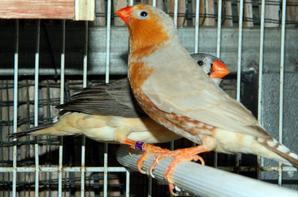 3eme couple : M�le brun BFPOPN + femelle grise