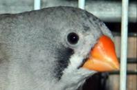 4eme couple: M�le pastel gris + femelle grise joue noir ( 2eme port�e )