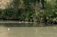 PROT�GEONS NOTRE  NATURE   ...NETTOYONS LES BERGES DU CANAL DU MIDI ..!