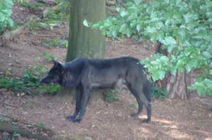 cher loup