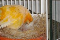 CANARIS NORWICH ......histoire d une naissance ou papa et maman  se partagent equitablement et maternellement  le boulot !