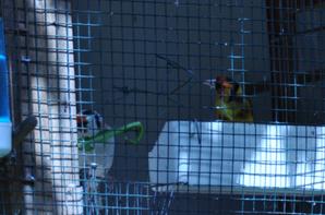 couple male jaune double porteur eumo et brun avec femelle eumo
