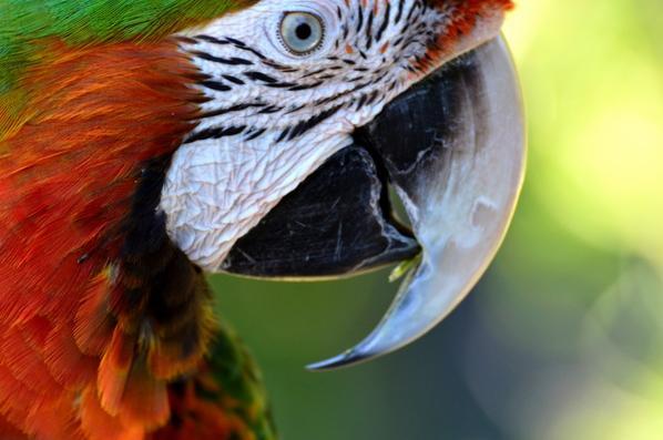 Un perroquet qui se nettoie