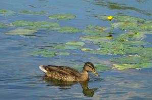 Des canards qui mangent des algues