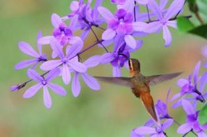 L'Ermite rouss�tre. Phaethornis ruber.
