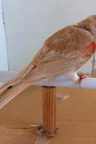 Brun topaze rouge mosaique en pleine mue et t�tue pour monter sur le perchoir