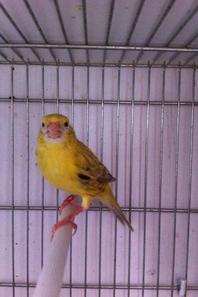 agate topaze jaune intensif