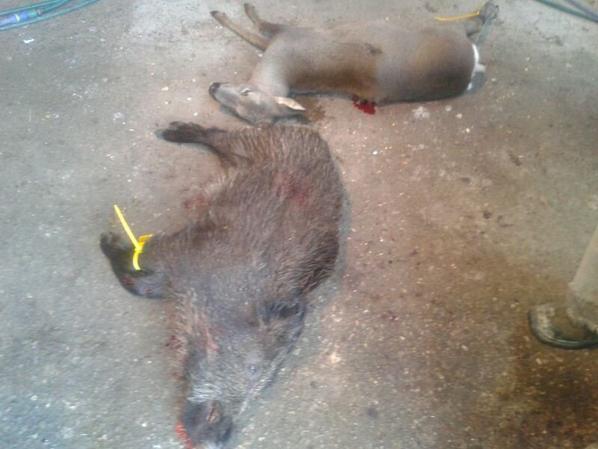 Jabali y corza de ca��n (matados por J.A. de Xoc�n y Manuel)