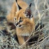 welovecaracal