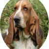 basset--hound