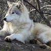 silverwolf504