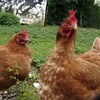 les-poules