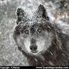 des-loups205