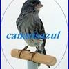 canarisazul