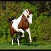 cheval-et-poney0