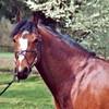 Etalons-gp-poney