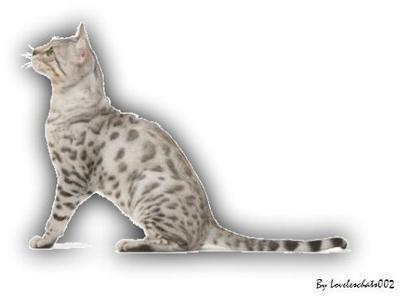 Le chat du Bengale