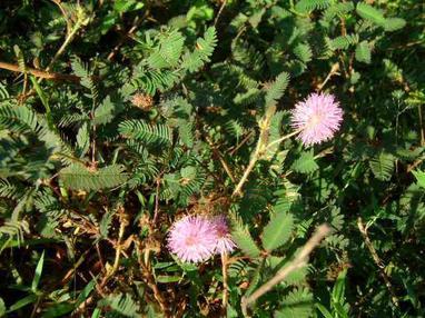 Plante 1 : Ramiregno ou Tsitandrikibo ou Mandryariva