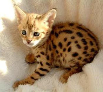 Siberian Cat  picturesofcatsorg