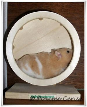 Idée d'habitat et infos pour hamster syrien