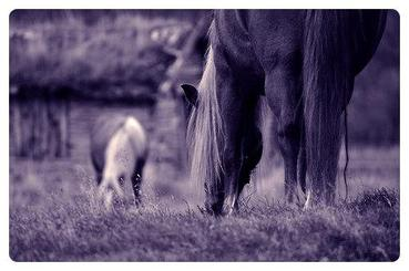 Explications et constat sur les chevaux de trait.