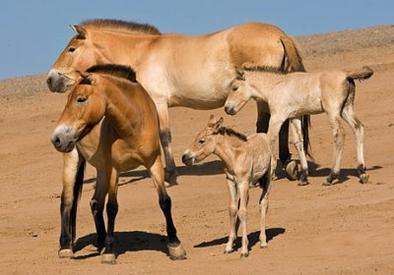 Un cheval tres ancien: le cheval de Prejwalski