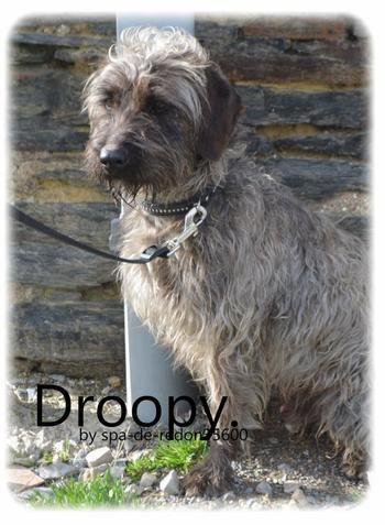 """"""" Droopy: Croisé griffon gris .."""""""