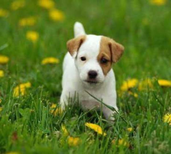 Nintendogs Cats Parson Russel Terrier