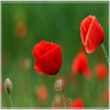 Gentils coquelicots Mesdames !