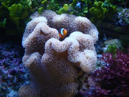 Mon aquarium eau de mer de 250 litres passera une for Eau de mer aquarium