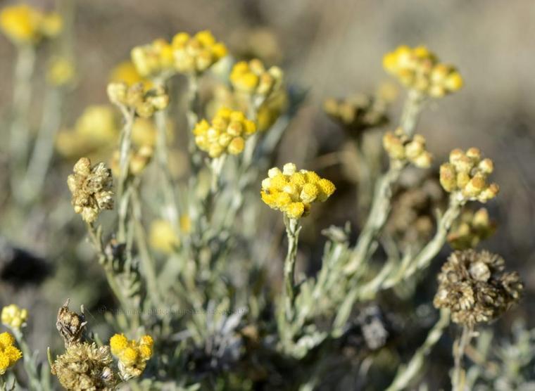 L 39 immortelle h lichrysum d 39 italie nature gastronomique for Plante immortelle
