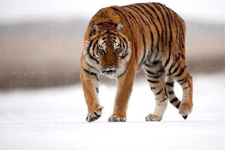 Tigres V Scorpions Le tigre (panth...