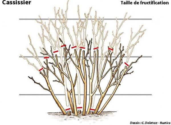 tailler le cassissier le jardin de valou la parisienne. Black Bedroom Furniture Sets. Home Design Ideas