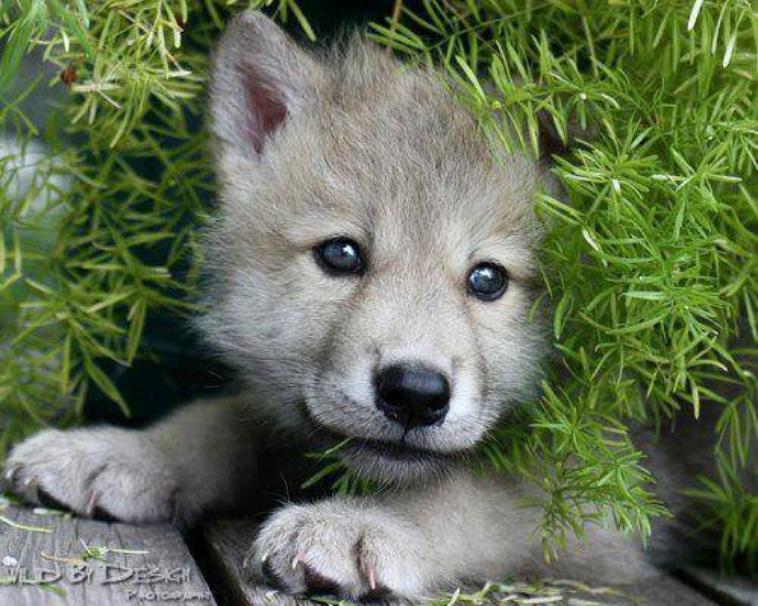 amis des loup