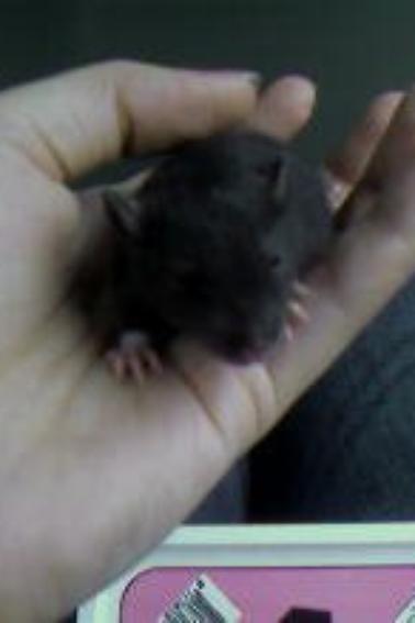 rat de une semaine