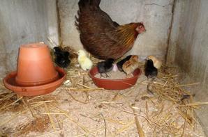 Poule chez moi avec 10 poussins nés hier