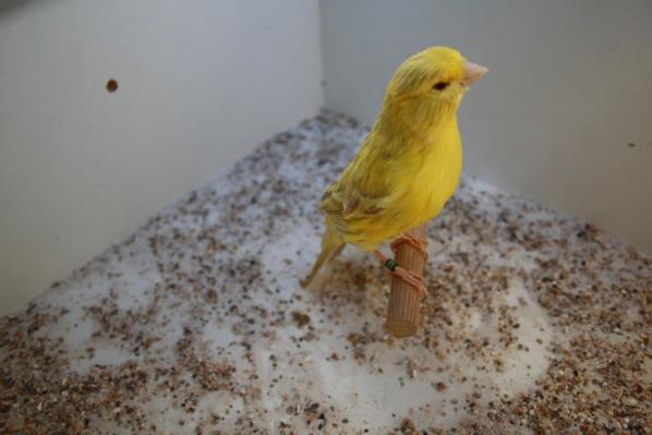 Brun eumo jaune