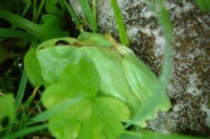 Grenouille trouvé dans les vignes
