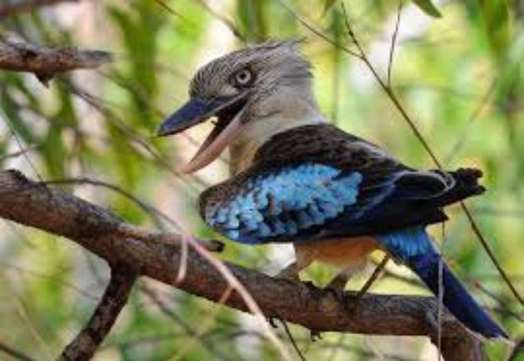 blue kookaburra