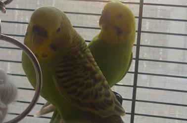 des new des petits perruchons !!
