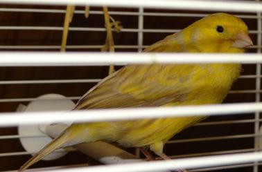 deuxieme partie canaris mâle de certain en repro
