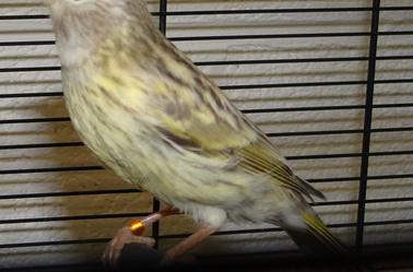 deuxieme partie canaris femelle en repro