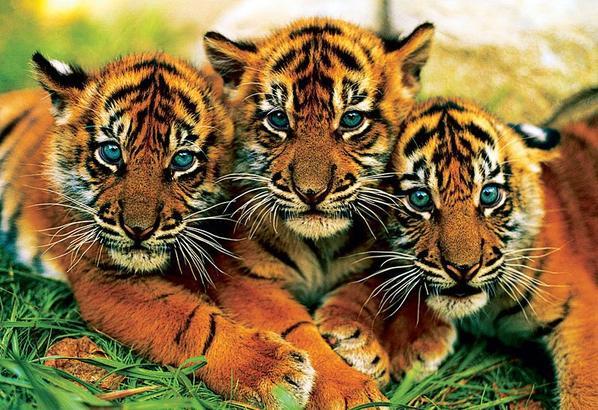 Ma passion les tigres