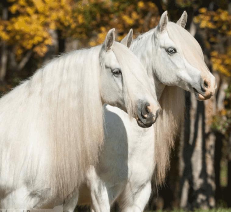 Cheval blanc ou cheval noir ??