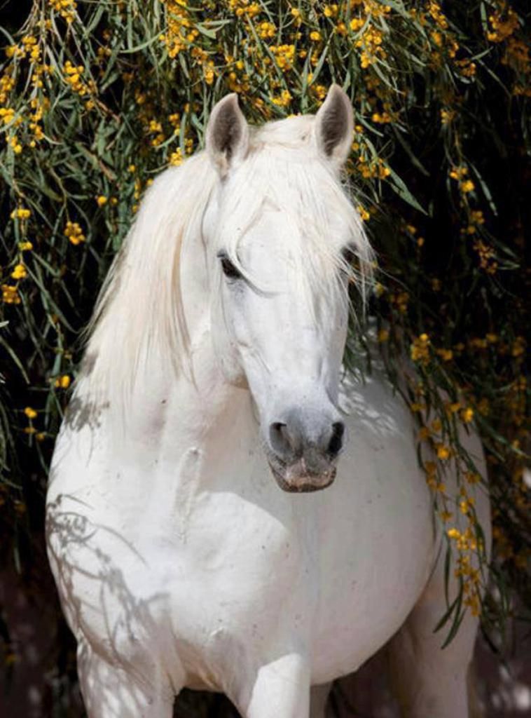 Cheval palomino ou cheval Blanc ??