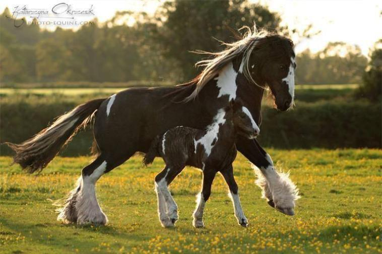 cheval pie noir