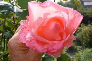Quelques roses de notre jardin+++++