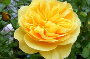 Quelques roses et Pivoine de notre jardin pour vous souhaité un beau lundi+++